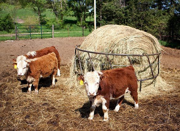 Miniature Herefords <3