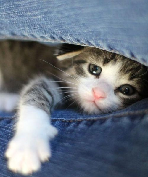 MiaouuuuuKitty Cat, Kittens Mittens, Blue Jeans, Peek A Boos, Pets, Hello Kitty, Cat Lovers, Baby Kitty, Animal