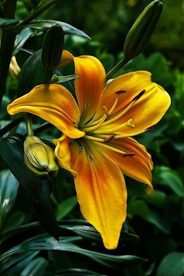 flowersgardenlove:  ~~Yellow Daylily~~ Beautiful gorgeous pretty flowers