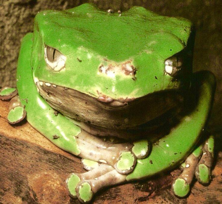 V Frog Kpm 17 Best images ...