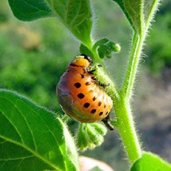 """Common in home gardens throughout the United States, the Colorado potato beetle (Leptinotarsa decemlineata) is such a serious pest that they are often just called """"potato bugs."""""""