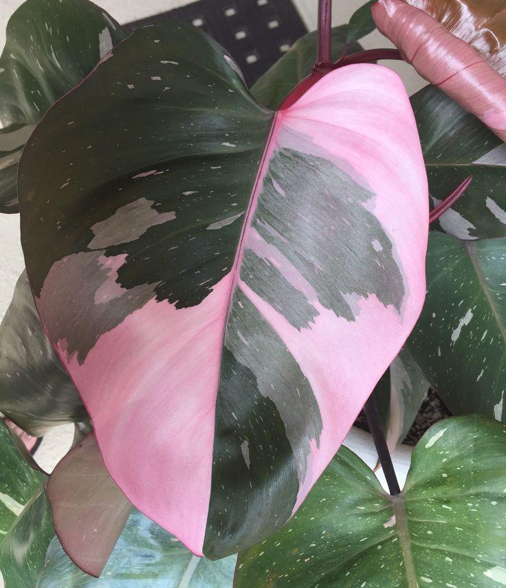 155 best philodendron images on pinterest indoor house plants gardening and indoor plants. Black Bedroom Furniture Sets. Home Design Ideas