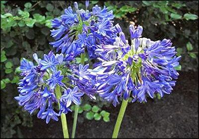 Agapanthus Blue Yonder | Blue Lily of the Nile