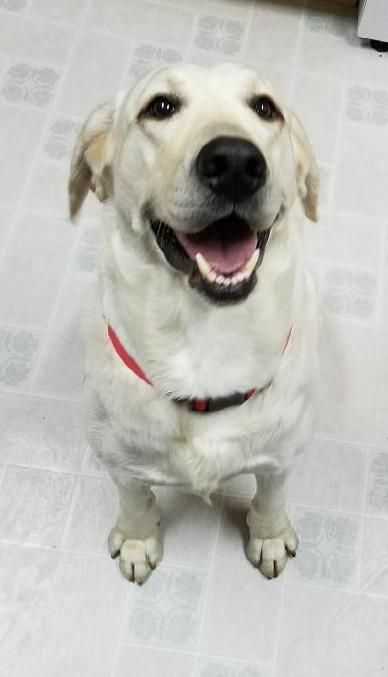 Labrador Retriever dog for Adoption in Bellevue, WA. ADN-419848 on PuppyFinder.com Gender: Male. Age: Adult