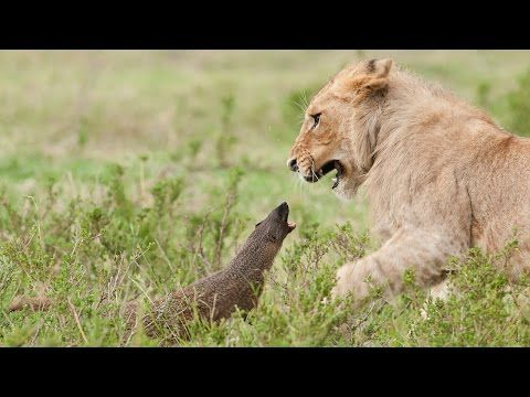 Lion Vs Mongoose: Mongoose Fends Off Four Lions  Four lions were left with their tails between their legs when a mongoose …