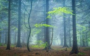 bosque, árboles, niebla, naturaleza