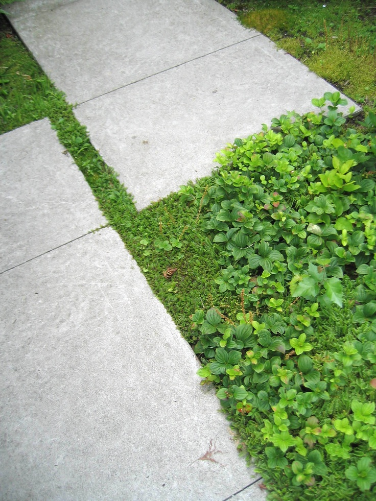 A green carpet created with Bunchberry, Brass Buttons and Irish Moss.