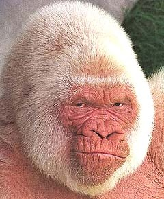 Snowflake, an extremely rare albino gorilla and the most popular resident of the Barcelona Zoo, has died of skin cancer, zoo officials said.  The white gorilla's health had been deteriorating in recent days, and he was taken out of his public exhibition space on Wednesday, news reports said.  Snowflake - Copito de Nieve in Spanish - was taken to the zoo's veterinary department for an autopsy.  Copito was thought to be between 38 and 40 years old - the equivalent of 80 human years for…