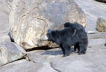 Sloth bear - Wikipedia  Sloth bears there's just something absolutely adorable about them, they climb trees, they have a mane like a lion & a palate used for sucking insects. 😮