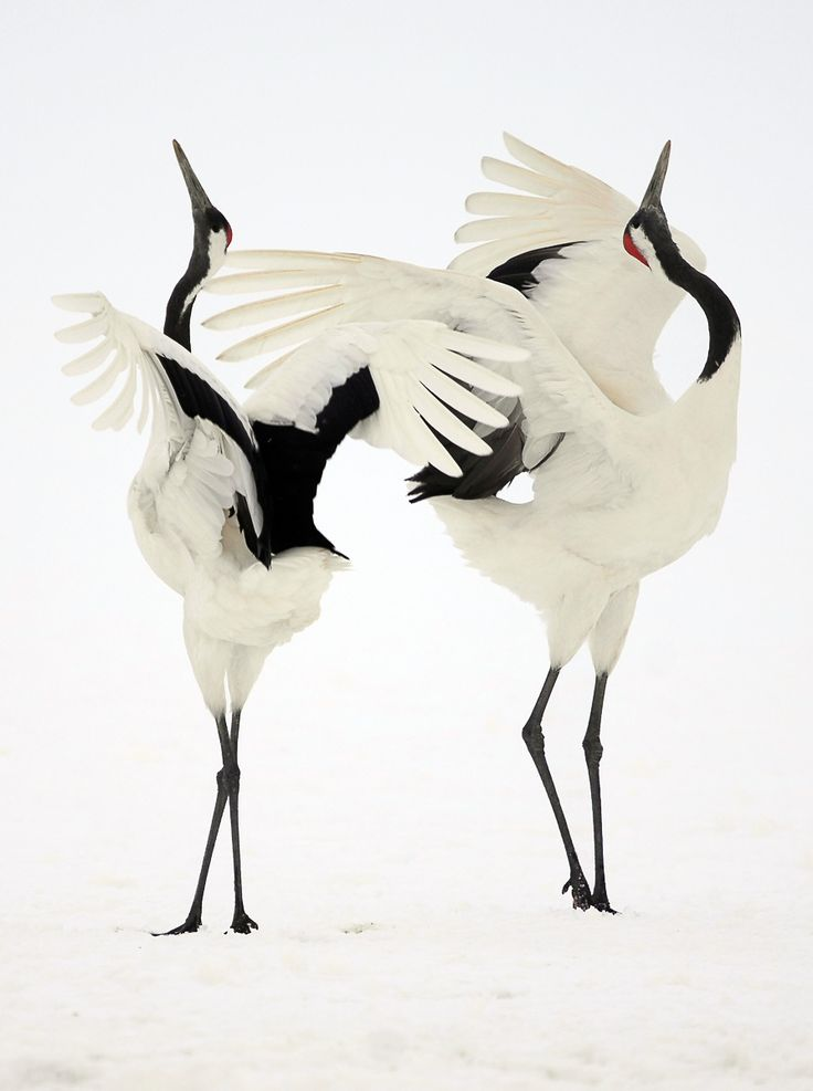 Japanese Cranes are among the most beautiful and rare birds on earth. A symbol of purity, longevity, peace, love and faithfulness.