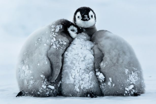 Super-cute penguin chicks huddle up to keep warm in -24°C temperatures - Mirror Online