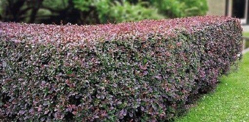 Живая изгородь из барбариса на дачном участке