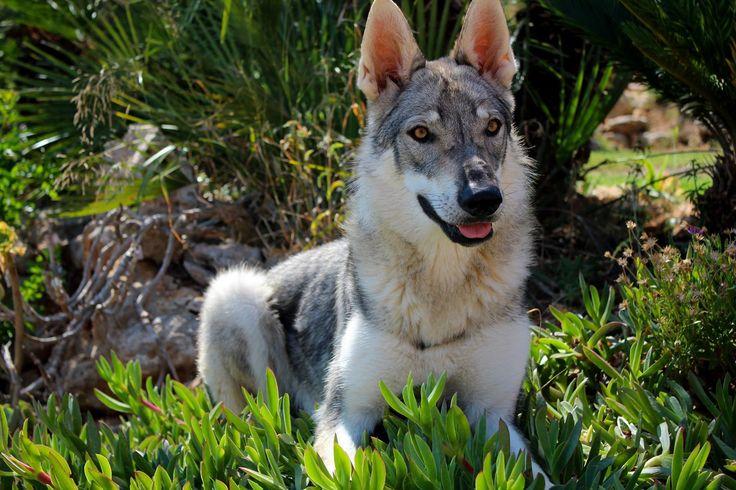 Elsa, 9 meses (perro lobo checoslovaco)