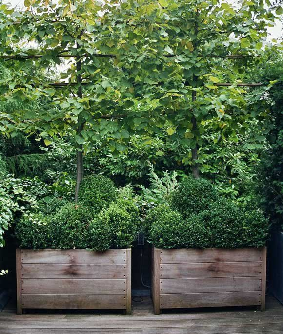 Espalier and boxwood in wooden planters