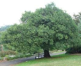 Dense, stocky tree