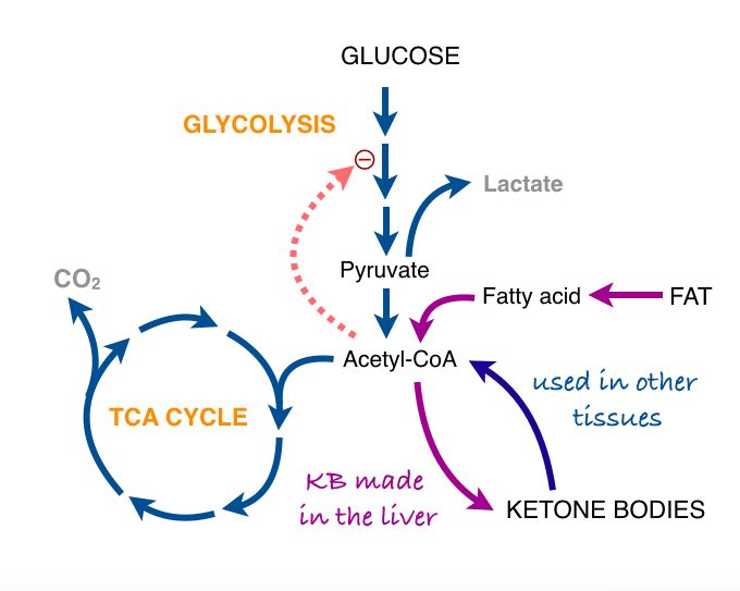 The last post described the two major processes in energy metabolism, (anaerobic) glycolysis and respiration. Pyruvate is the product of glycolysis and has many fates. (Remember pyruvate and pyruvi…