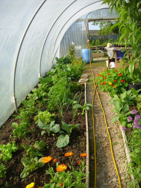 Inside the Arigna Gardener's polytunnel in Ireland.  Awesome!