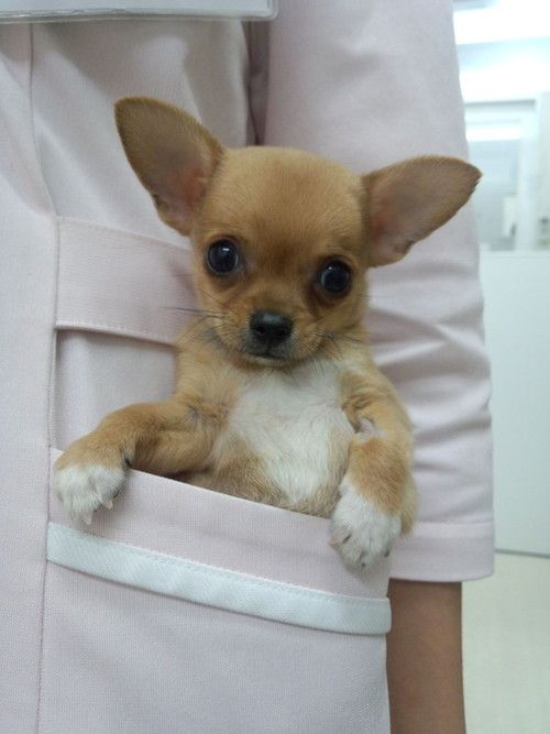 not a tea cup chihuahua but a pocket chihuahua tooo cute for words i love him lorr puppies. Black Bedroom Furniture Sets. Home Design Ideas