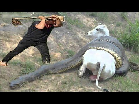 Humans protect Pregnant Cow when Giant Anaconda kills It - YouTube