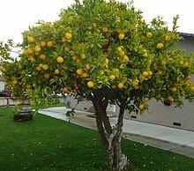 Santa Clara, California - Orange trees are a common sight in the city.
