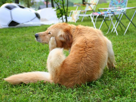 Tick Paralysis in Dogs   petMD
