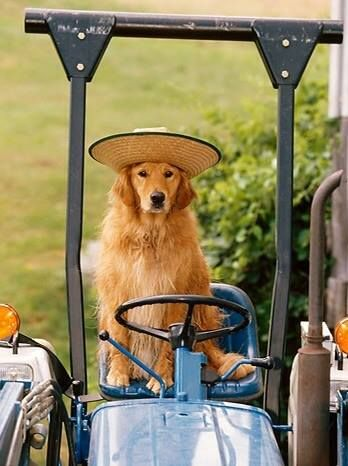 Sometimes our gardening helper drives the tractor...........