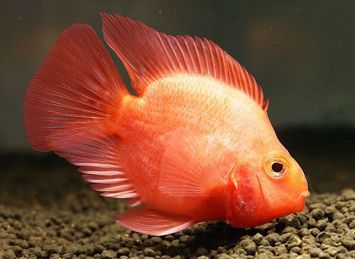 Blood parrots unusually bright orange with a red body and for Red parrot fish
