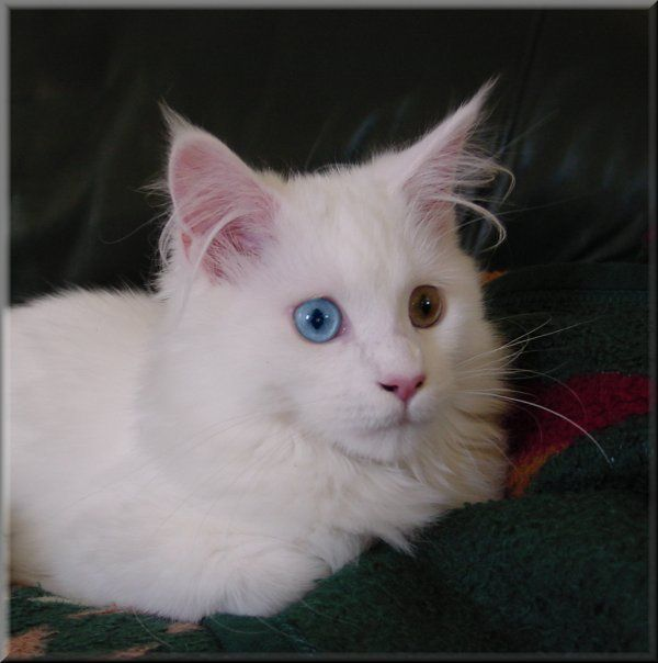 Maine Coon, Odd eyed. A white girl. Photo by Mariama.