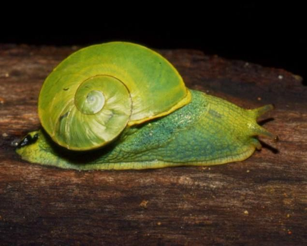 Heliciculture –  Gastronomic garden snails British Isles – A Natural History. Gourmet gastropods brought Helix aspersa, known by the common name garden snail, is a species of land snail William Benson and the early study of land snails in British India and Ceylon.