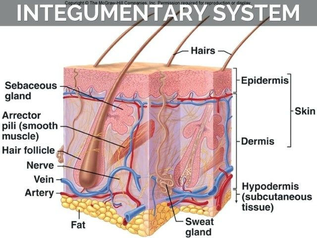 Human Integumentary System Diagram Koibana Info Integumentary System Human Integumentary System Skin Anatomy