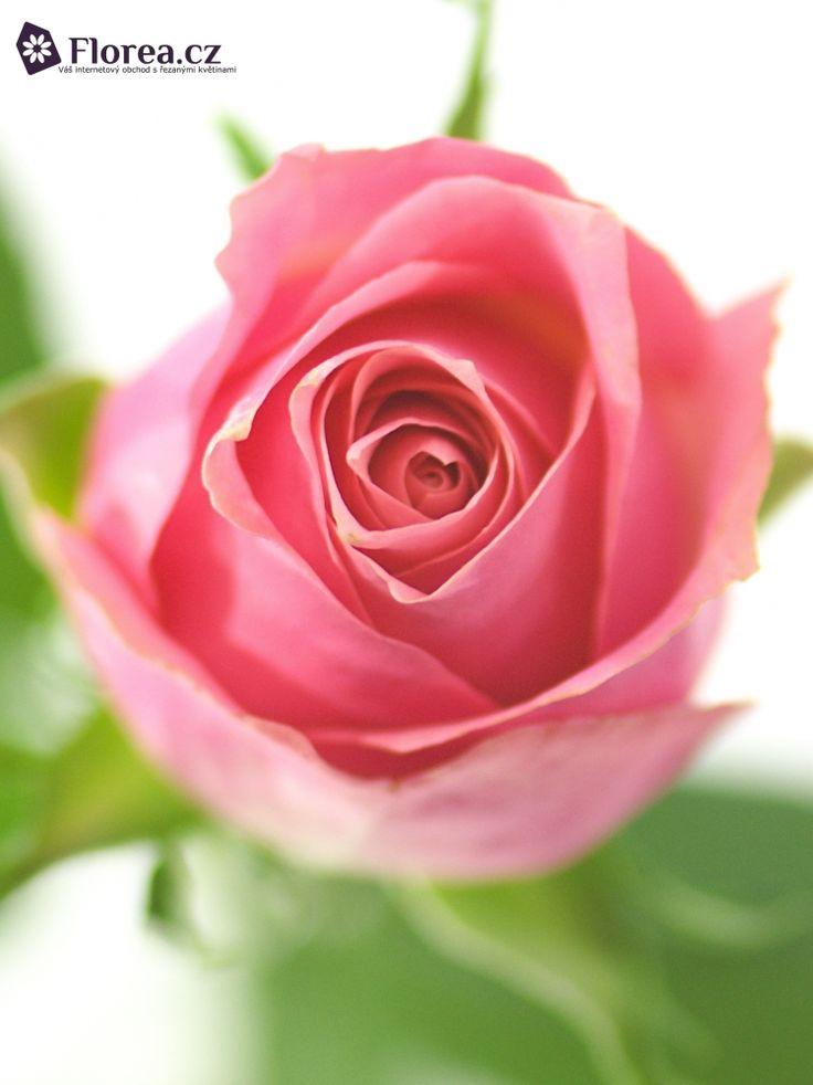 Rosa Ace Pink #ruze #roses #ruzovaruze #ruzeacepink #sacepink #roseacepink #florea #florea.cz #pinkrose