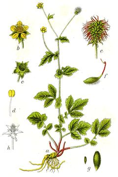 Geum urbanum- Wood Avens, Bennet- supposedly leaves n roots are eatable, used as a clove substitute with a hint of cinnamon;has also been used medicinally