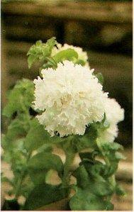 Petunia Flower Types - jenis dan macam bunga petunia
