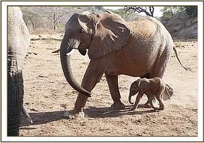 Keepers Diary Kinna with baby Kama