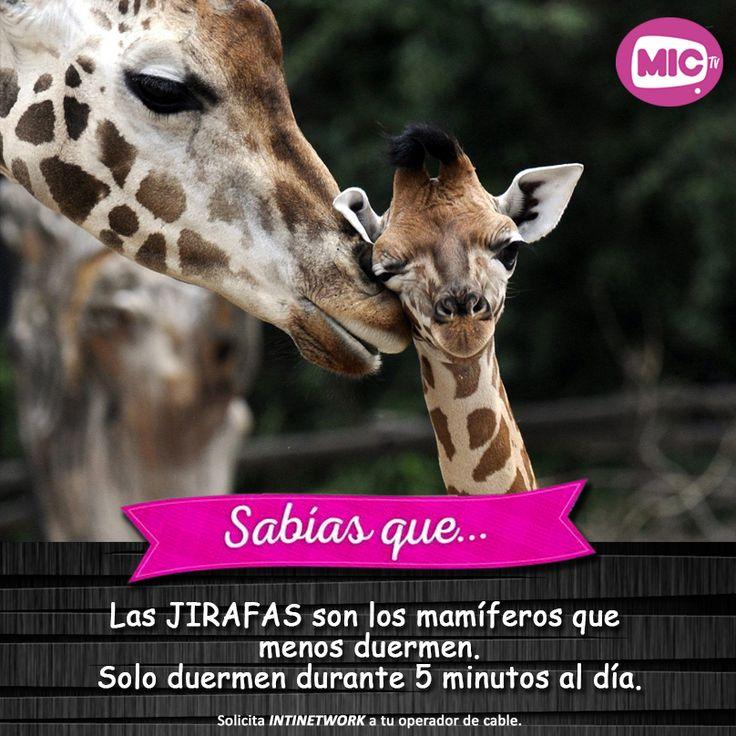 """Descubre más de la vida de los animales en """"Zoo Reality"""". Vívelo por las pantallas de INTINETWORK Martes y Jueves Per/Ecu, 22:30 h Bol, 23:30 h #ZooReality #Intinetwork #MICTV"""