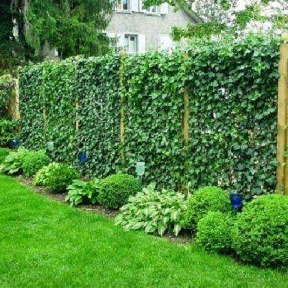 садовый плющ