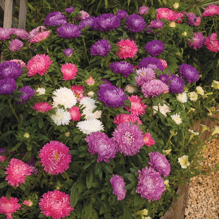 Aster Plants - Asteroid Mix - Order Details - Suttons Seeds and Plants