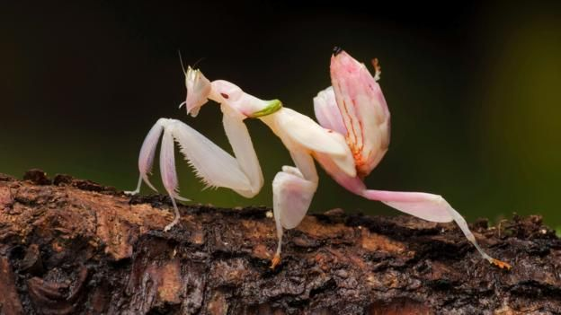 An orchid mantis wears a deceitful disguise (credit: WILDLIFE GmbH / Alamy Stock Photo)