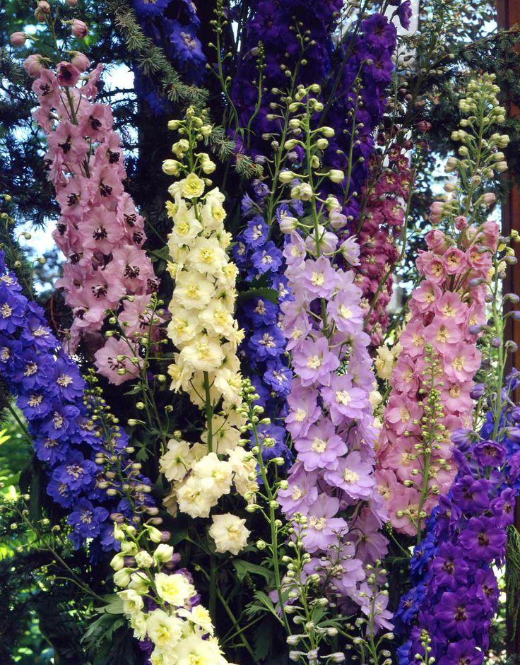 Delphiniums are a staple of the  traditional cottage garden look - the lovely tall flower spikes are a feast for the eyes and loved by pollinating insects! A mixed display can be very effective but soft colouring makes them ideal for blending in to a display with different flowers.