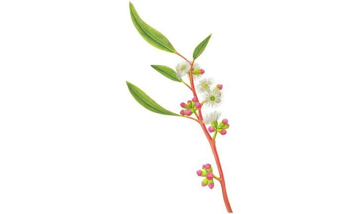 Gallery: Gum blossoms in Australia - Australian Geographic