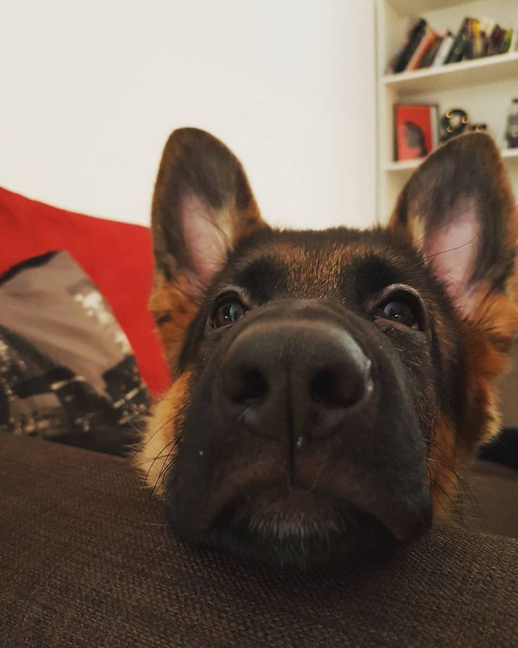 25+ Best Ideas About Baby German Shepherds On Pinterest