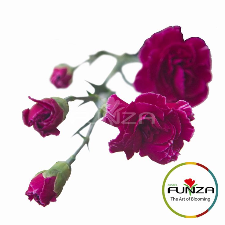 Bicolor Purple Spray Carnation from Flores Funza. Variety: PrettyTessino. Availability: Year-round.