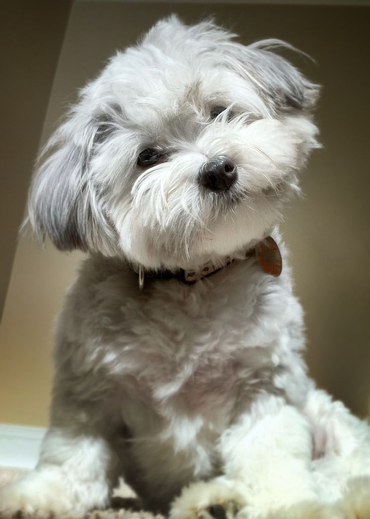 maltese havanese best 25 havanese puppies ideas on pinterest little dogs 526