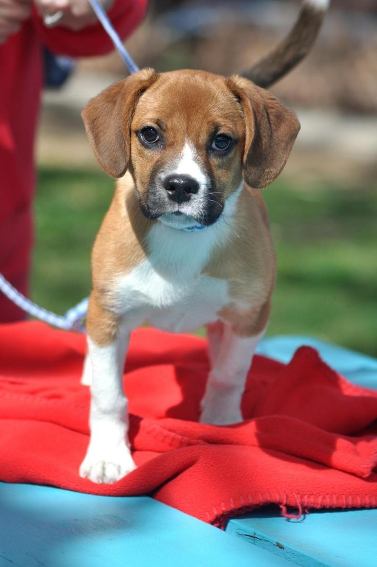 Meet Maggey, a Petfinder adoptable Boxer Dog | Northbrook, IL | The only thing that could be cuter than a baby Boxer, is a baby Boxer/Beagle mix! Maggey is proof...