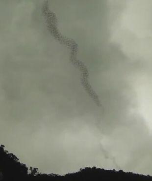 Formacja nietoperzy jak smuga dymu. http://tvnmeteo.tvn24.pl/informacje-pogoda/ciekawostki,49/formacja-nietoperzy-jak-smuga-dymu,190462,1,0.html
