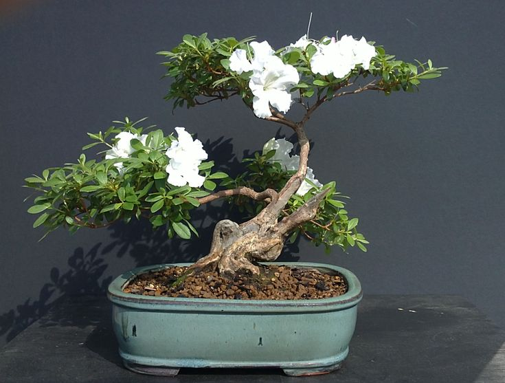 Bonsai Art, Bonsai Trees, The Arts, Indoor, Style, Gardenias, Workshop, The  Ou0027jays, Interior