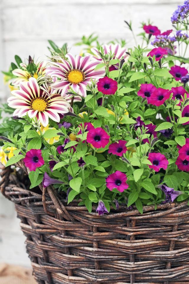 Petuniat ovat kesäkukkien aatelia!  | Viherpiha