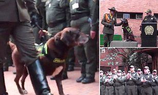 Colombia's police department gave chocolate Labrador and professional sniffer Kalet a spectacular sendoff on Friday for his job well done.