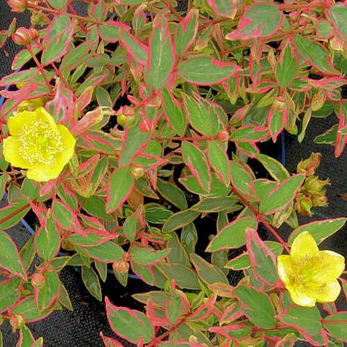 hypericum moserianum tricolor jeune plante en godet millepertuis tricolor cet arbuste tr s. Black Bedroom Furniture Sets. Home Design Ideas