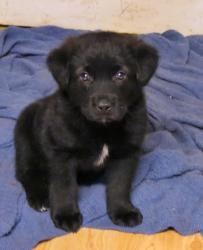 Major is an adoptable Labrador Retriever Dog in Southern Pines, NC. Toooooo cute is not enough to describe little Major. One wonders how some heartless person could dump a darling little guy like thi...